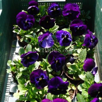Bratek ogrodowy (Viola wittroctiana) - Colossus - Neon Violet