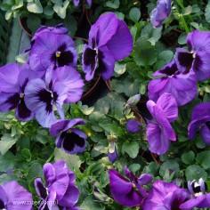 Bratek ogrodowy (Viola wittroctiana) - Delta - Blue with Blotch