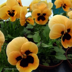 Bratek ogrodowy (Viola wittroctiana) - Delta - Orange with Blotch