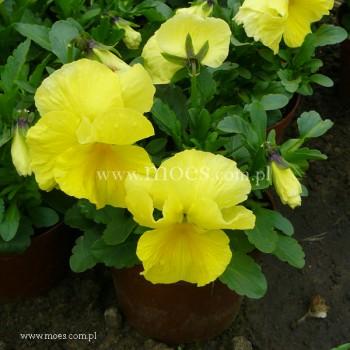 Bratek ogrodowy (Viola wittroctiana) - Delta - Pure Lemon Improved