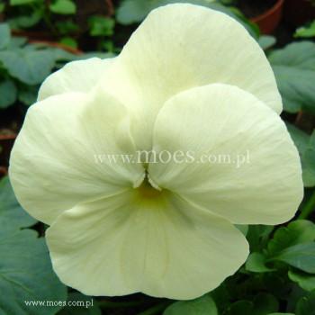 Bratek ogrodowy (Viola wittroctiana) - Delta - Pure Primose