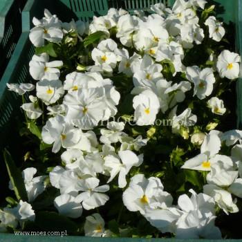 Bratek ogrodowy (Viola wittroctiana) - Delta - Pure White