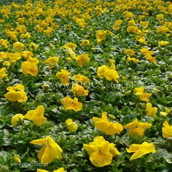 Bratek ogrodowy (Viola wittroctiana) - Delta - Pure Yellow