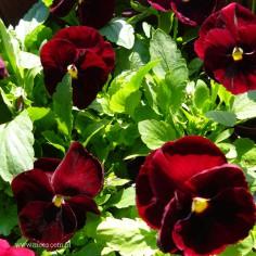 Bratek ogrodowy (Viola wittroctiana) - Delta - Red with Blotch
