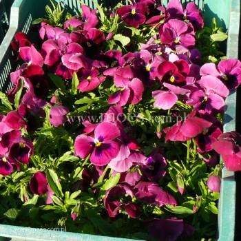 Bratek ogrodowy (Viola wittroctiana) - Delta - Rose With Blotch