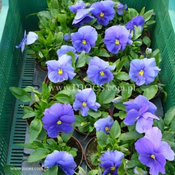 Bratek ogrodowy (Viola wittroctiana) - Delta - True Blue