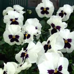 Bratek ogrodowy (Viola wittroctiana) - Delta - White with Blotch