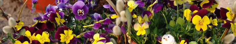 Fiołek rogaty (Viola cornuta)