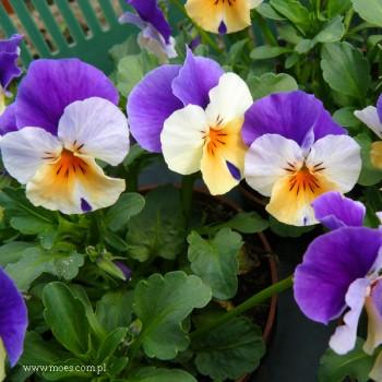 Fiołek rogaty (Viola cornuta) - Butterfly - Apricot Purple