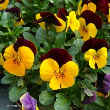 Fiołek rogaty (Viola cornuta) - Butterfly - Yellow Red Wing