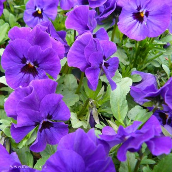 Fiołek rogaty (Viola cornuta) - Butterfly - Blue Blotch