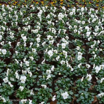 Fiołek rogaty (Viola cornuta) - Butterfly - White