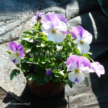 Fiołek rogaty (Viola cornuta) - Butterfly - Lila White