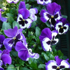 Bratek ogrodowy (Viola wittroctiana) - Colossus - White with Purple Wing