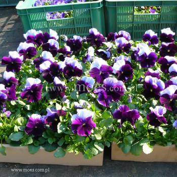 Bratek ogrodowy (Viola wittroctiana) - Delta - Beaconsfield