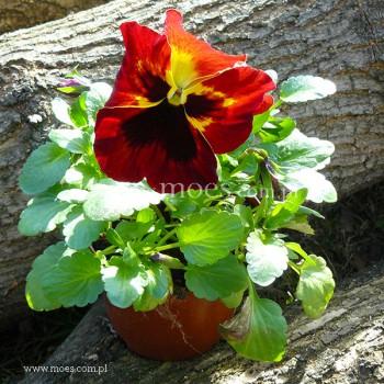 Bratek ogrodowy (Viola wittroctiana) - Delta - Fire Surprise