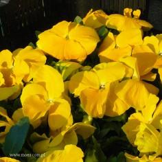 Bratek ogrodowy (Viola wittroctiana) - Delta - Pure Golden Yellow