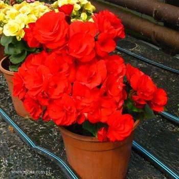 Begonia zimowa (Begonia elatior) - Barkos - Barkos