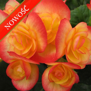 Begonia zimowa (Begonia elatior) - Ilona - Orange Stone