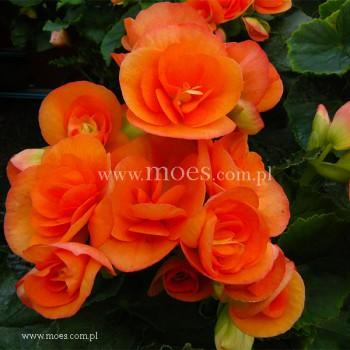 Begonia zimowa (Begonia elatior) - Ilona - Britt Dark