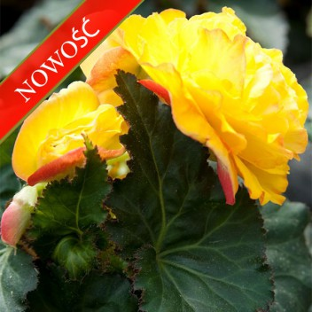Begonia bulwiasta (Begonia tuberhybrida) - NonStop - Yellow with Red Back