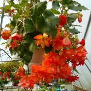 Begonia bulwiasta (Begonia tuberhybrida) - Illumination - Golden Picotee