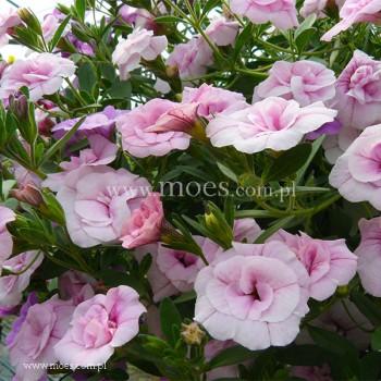 Calibrachoa (Calibrachoa x hybrida) - Trixi - Pink Petticoat