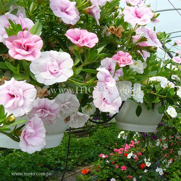 Calibrachoa calibrachoa x hybrida trixi pink petticoat - Calibrachoa trixi ...