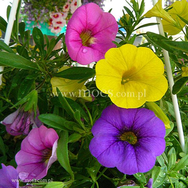 Calibrachoa calibrachoa x hybrida trixi lollipop - Calibrachoa trixi ...