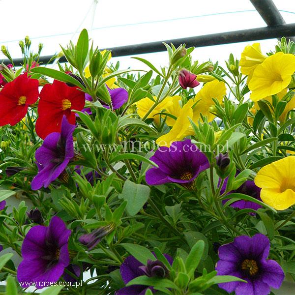 Calibrachoa calibrachoa x hybrida trixi bolero - Calibrachoa trixi ...