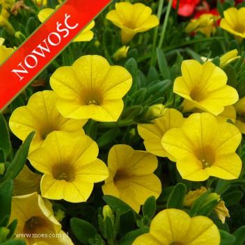 Calibrachoa (Calibrachoa x hybrida) - Mini Famous - Neo True Yellow