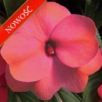 Niecierpek Nowogwinejski (Impatiens New Guinea) - Sonic - Mango