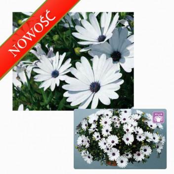 Osteospermum (Osteospermum ecklonis) - Erato Basket - White