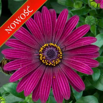 Osteospermum (Osteospermum ecklonis)  - FlowerPower - Dark Purple