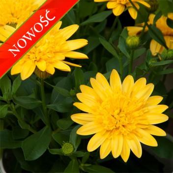 Osteospermum (Osteospermum ecklonis) - FlowerPower 3D - Yellow