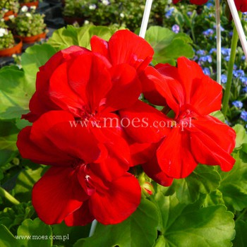 Pelargonia ogrodowa stojąca (Pelargonium zonale) - Caliope - Dark Red