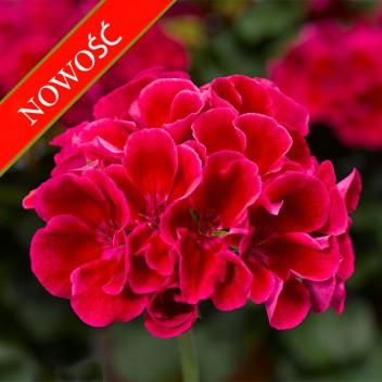 Pelargonia ogrodowa stojąca (Pelargonium zonale) - Caliope - Red Splash