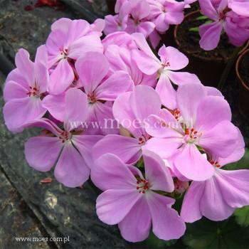 Pelargonia ogrodowa stojąca (Pelargonium zonale) - Toscana - Lara