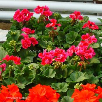 Pelargonia ogrodowa stojąca (Pelargonium zonale) - Toscana - Tammo