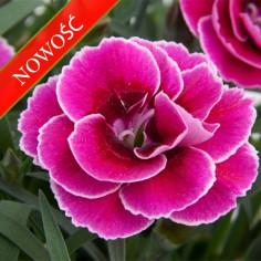Goździk ogrodowy (Dianthus caryophyllus) - SuperTrouper - Sally