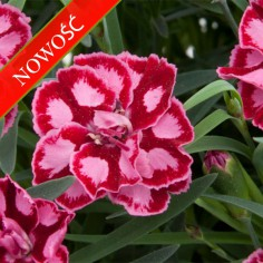 Goździk ogrodowy (Dianthus caryophyllus) - Diantica - Strawberry Cream