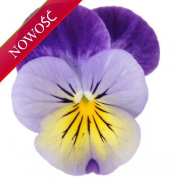 Fiołek rogaty (Viola cornuta) - Butterfly - Blue Yellow