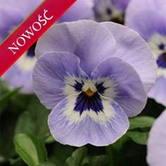 Fiołek rogaty (Viola cornuta) - Butterfly - Marina