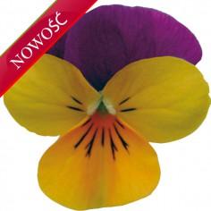 Fiołek rogaty (Viola cornuta) - Butterfly - Orange Purple
