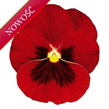 Fiołek rogaty (Viola cornuta) - Butterfly - Red with Blotch