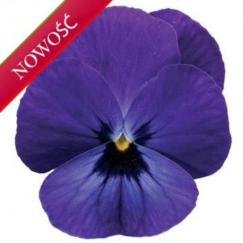 Fiołek rogaty (Viola cornuta) - Rocky - Blue with Blotch