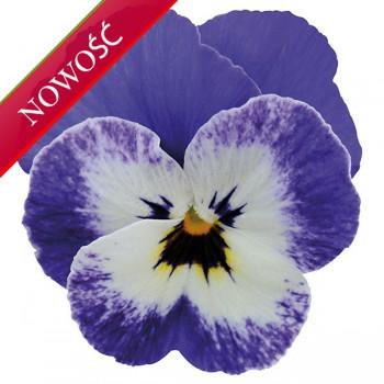 Fiołek rogaty (Viola cornuta) - Rocky - Deep Marine Autumn