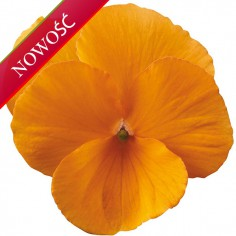Fiołek rogaty (Viola cornuta) - Rocky - Tangerine