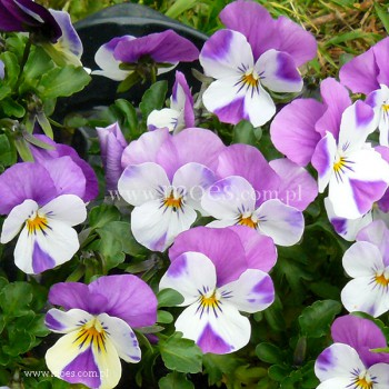 Fiołek rogaty (Viola cornuta) - Rocky - White with Pink Wing