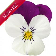 Fiołek rogaty (Viola cornuta) - Rocky - White with Purple Wing